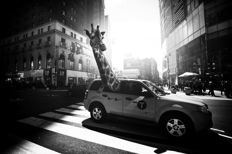 Photographie NY taxi girafe