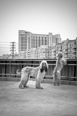 Afghan Hounds, China