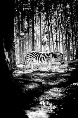 Zebra Franschhoek, South Africa